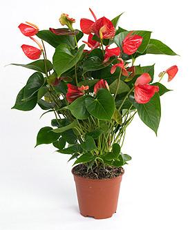http://www.fiorisecchi.info/artefloreale/designer_elite/base_schedepianteinvaso/id51/anthurium_andreanum_red_coral1.jpg